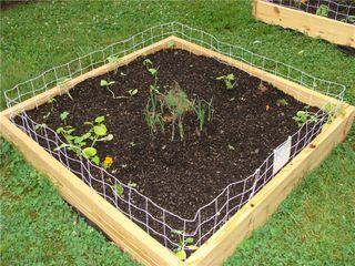 Squash garden day 7