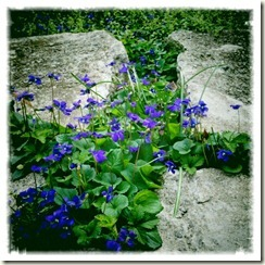 violets for fable and sheen